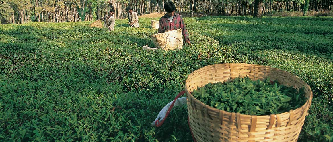 Holta tea estate